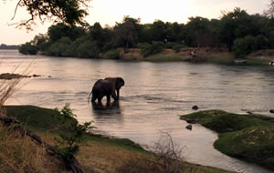 Elephant crossing the Zambezi