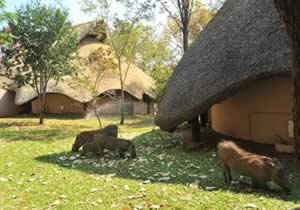 Warthogs can often be seen between the Chalets