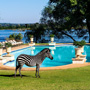 Zebra in front of the pool at the Royal Livingstone Hotel in zambia